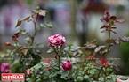 Loài hoa hồng đột biến gien quý hiếm của thành viên trong Hội cây cảnh Thăng Long mang đến trưng bày Lễ hội.