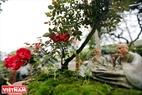 Lễ hội hoa hồng Bulgaria và Bạn bè 2018 còn có những cây hoa hồng Bonsai cổ thụ do thành viên trong Hội cây cảnh Thăng Long mang đến.