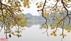 Những cành lộc vừng vàng óng võng xuống sát mặt hồ, in hình mờ ảo tạo nên một không gian cổ kính. Ảnh: Công Đạt
