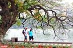 Khách du lịch thích thú đi dạo dưới tán cây lộc vừng đang độ thay lá bên hồ Hoàn Kiếm. Ảnh: Công Đạt