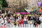 Du khách ngỡ ngàng trước vẻ đẹp của loài hoa của Nhật Bản.