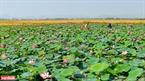 Đầm sen hồng bát ngát tỏa hương thơm bên những thảm lúa vàng óng ả mênh mông ở vùng ngoại ô xứ Huế. Ảnh: Nguyễn Đức Tuấn