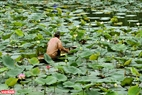 Nghề trồng sen vừa là kế sinh nhai và cũng là thú vui của người dân xứ Huế. Ảnh: Nguyễn Đức Tuấn