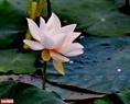 Vẻ đẹp thanh khiết, dịu dàng của loài sen trắng cánh đơn. Ảnh: Nguyễn Đức Tuấn
