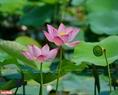 Vẻ đẹp dịu dàng, thanh nhã của loài sen hồng cánh đơn xứ Huế. Ảnh: Nguyễn Đức Tuấn