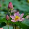 Những cánh sen hồng mỏng manh e ấp ôm lấy chòm nhụy và gương sen vàng ươm như nắng sớm. Ảnh: Nguyễn Đức Tuấn