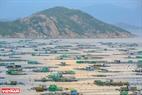 """Bình Ba, hòn đảo thuộc Tp. Cam Ranh (Khánh Hòa) là nơi được mệnh danh """" đảo Tôm Hùm"""" bởi đây là nơi có rất nhiều bè nuôi tôm hùm, nghề mang lại thu nhập chính cho người dân đảo."""