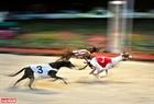Với quãng đường 450m/vòng và vận tốc khoảng 60km/giờ thì trung bình các chú chó đua sẽ chạy hết khoảng 30 giây. Ảnh: Công Đạt
