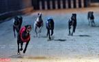 Chó đua là giống chó săn của Úc có tên gọi là Greyhound tuy cả đời không bao giờ biết cắn người, nhưng vẻ hoang dại và đầy sức mạnh của nó luôn hiện rõ trong mỗi bước chạy. Ảnh: Công Đạt