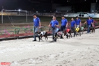 Đến giờ đua, 8 chú chó sẽ được huấn luyện viên dắt vòng quanh sân vừa để làm quen với đường đua và cũng để cho khán giả theo dõi, phán đoán khả năng của từng chú chó. Ảnh: Thông Hải