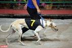 Mỗi chú chó đua đều được đặt tên và đánh số theo thứ tự để khán giả tiện theo dõi. Ảnh: Công Đạt