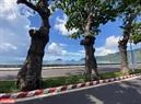 Los árboles de almendrón dan sombra en la carretera de Ton Duc Thang en la ciudad de Con Son, distrito de Con Dao. Foto: Bao Uyen