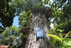 Con Dao tiene 53 antiguos almendrones reconocidos como árboles patrimoniales de Vietnam. Foto: Tat Son / VNP