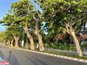 En la isla de Con Dao se levantan 79 antiguos árboles, 53 de almendrón de los cuales son considerados patrimonio nacional. Foto: Trang Linh