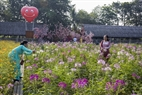 Cánh đồng hoa là điểm lý tưởng cho mọi du khách tham quan và sống ảo cho những ngày cuối năm.
