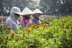 Cánh đồng hoa Nhị Bình cũng là nơi chính cung cấp hoa cho Tp.HCM.