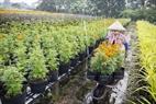 Các chậu hoa mang đi phục vụ thị trường Tết.