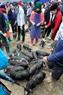 Những chú lợn giống bị buộc vào dây thừng đưa ra chợ để bày bán.Khu vực này tụ tập rất nhiều người dân đứng xem.