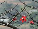 Những bông hoa gạo có màu đỏ rực rỡ có năm cánh hoa.