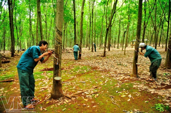 Rubber Trees In Binh Phuoc Vietnam Pictorial