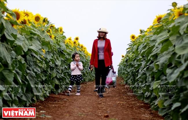 ギア・ダン県におけるヒマワリの畑 - ベトナムフォトジャーナル