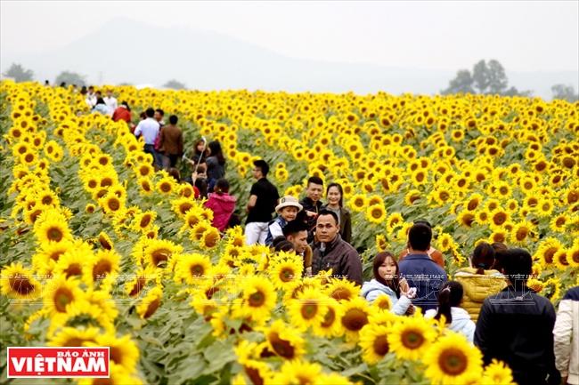 Resultado de imagen de campos de girasoles en vietnam