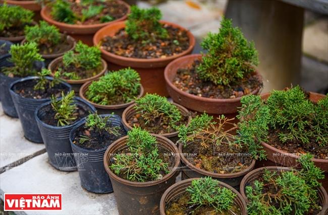 độc đao Bonsai Mini Bao ảnh Việt Nam