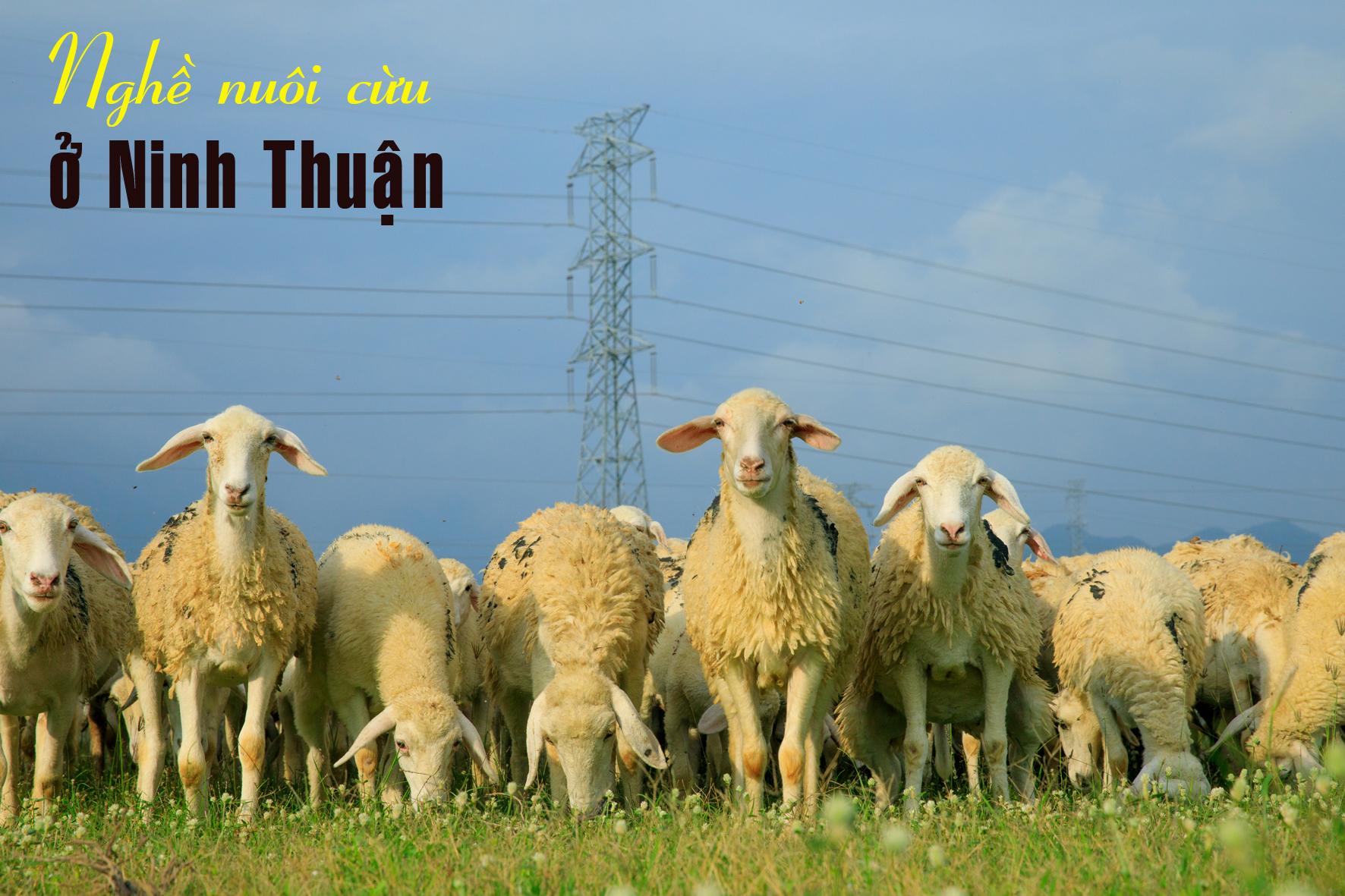 Nghề nuôi cừu ở Ninh Thuận