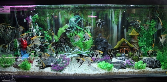 Raising ornamental fish in hanoi for Ornamental pond fish inc