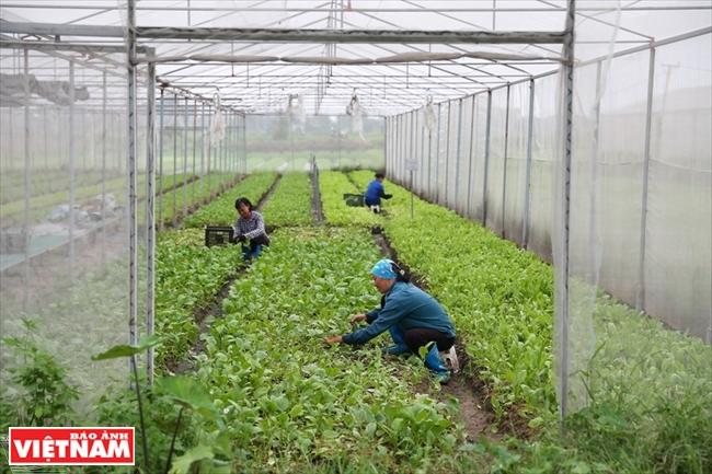 日越蔬菜征服越南消费者