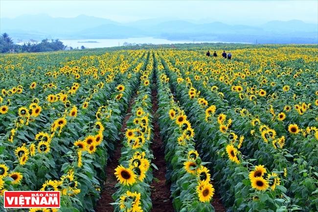Tỏa sáng với cánh đồng hoa mặt trời
