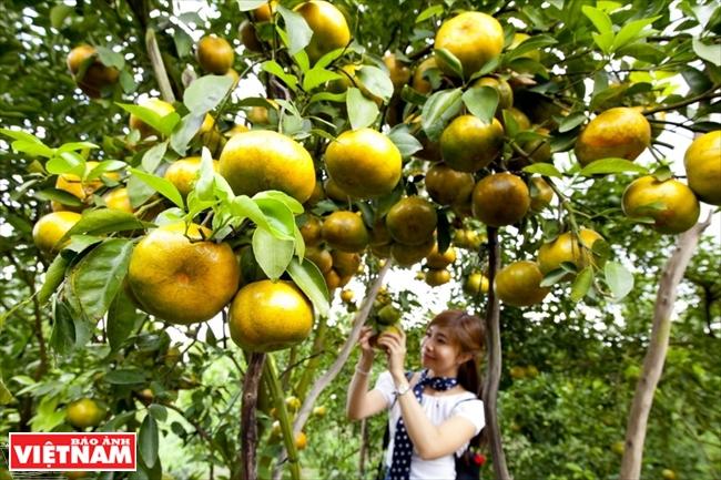 九龍(クウロン)デルタの果樹園