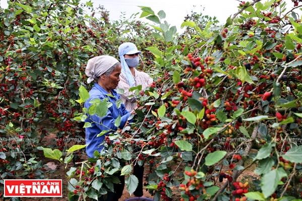 La saison de récolte des mûres à Hiep Thuân