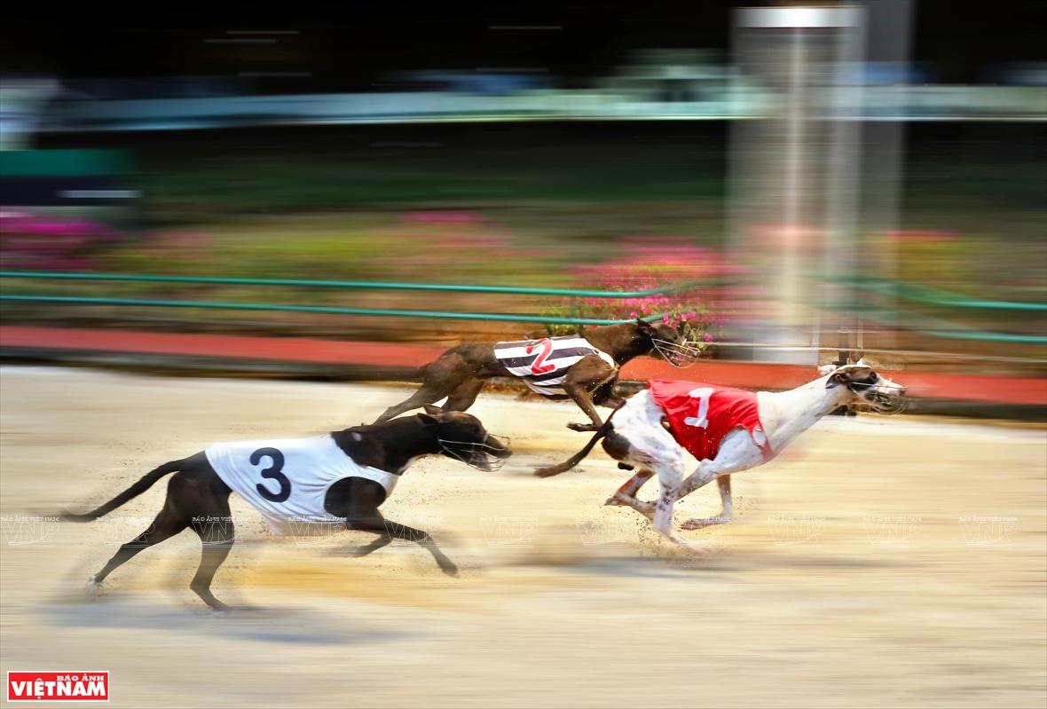 Hấp dẫn môn đua chó ở Vũng Tàu